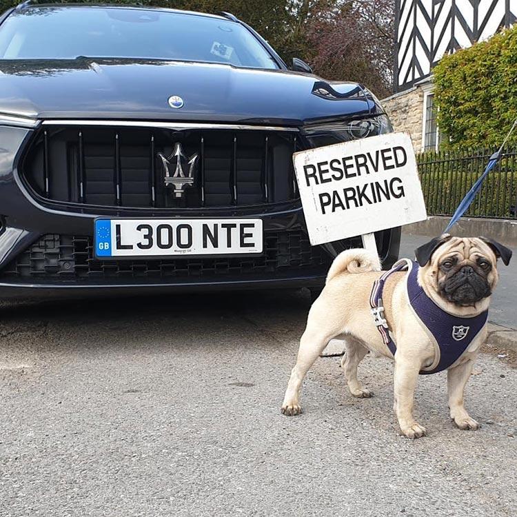 Maserati Levante V6 dog